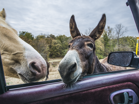 Horse and donkey sticking their heads in pickup truck window