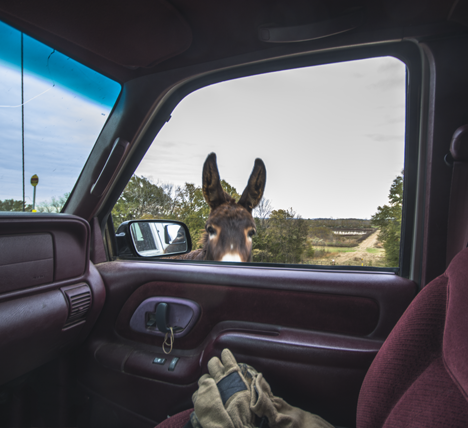Donkey looking in passenger side pickup truck window