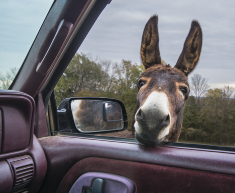 Donkey sticking head inside truck window