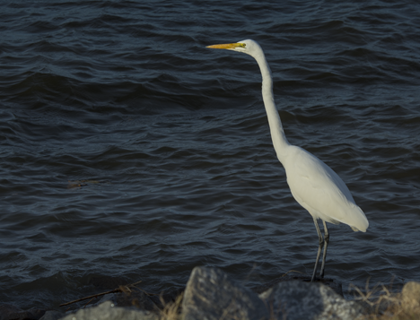 White egret in front of dark waters on Saracen Lake