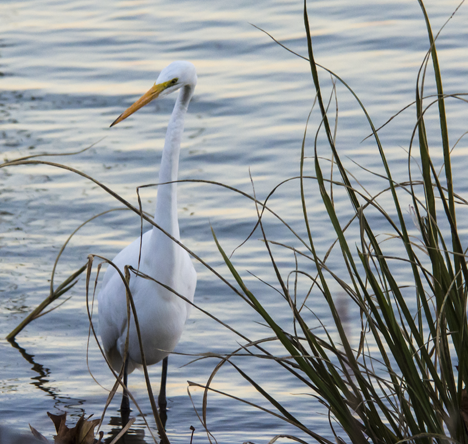 Egret in tall grass near the shore line of Saracen Lake