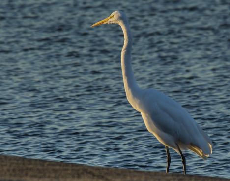 Egret on lauch ramp at Saracen Lake