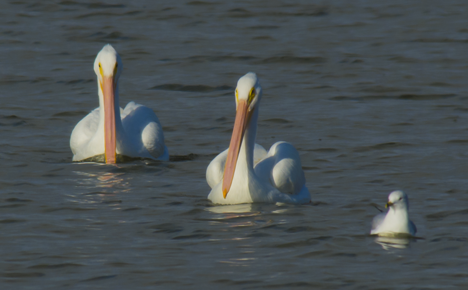 Two pelicans and a sea gull swimming together on Saracen Lake