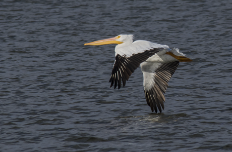 Pelican flying low over Saracen Lake