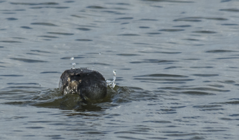 Pie-billed grebe diving