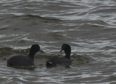 Two grebes swimming on Saracen Lake