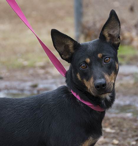 Black and tan comet, a dog at the Pine Bluff Animal Shelter