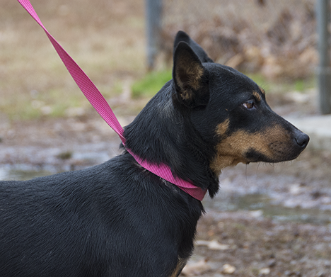 Comet a black and tan dog at the Pine Bluff Animal Shelter