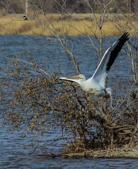 pelican flying with kingfisher in tree