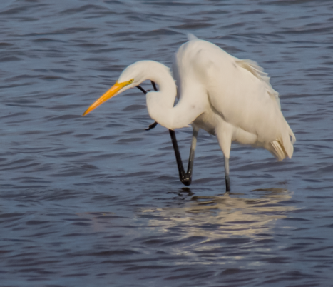 Egret scratching