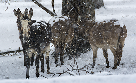 Donkeys in a snow storm