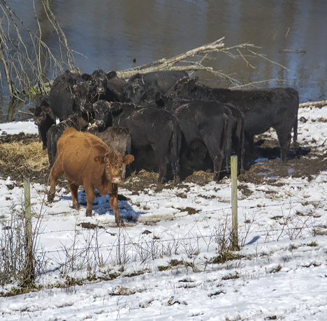 Herd of cattle on levee