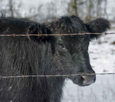 Black angus calf at pasture fence