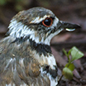 Killdeer closeup