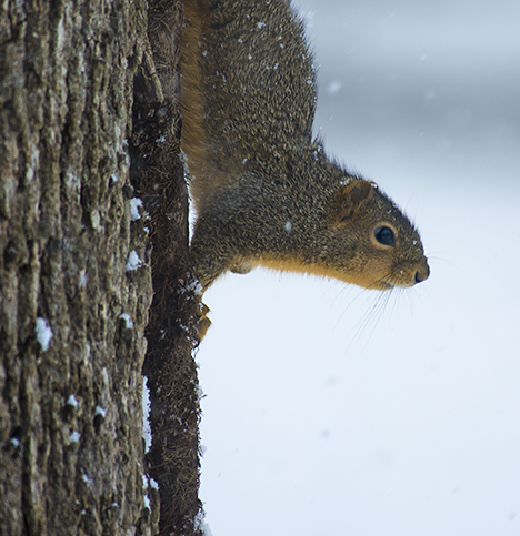 Squirrel descending tree