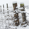 Pasture fence posts in a snowstorm