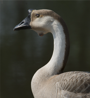 Click on the Chinese Swan Goose to see more and ready our original  June 2013 story.