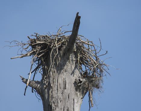 Abandoned osprey nest