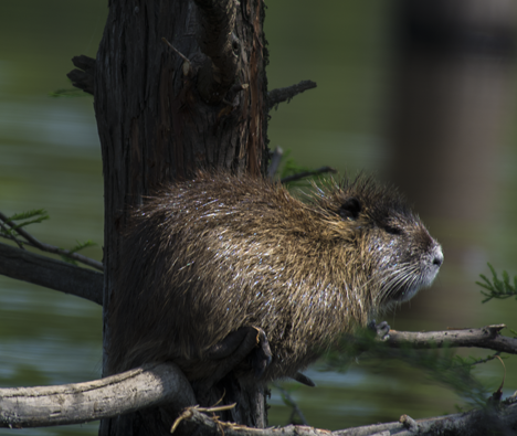 Nutria on a cypress limb