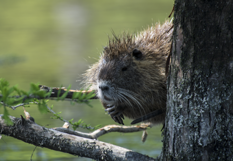 Nutria looking around tree
