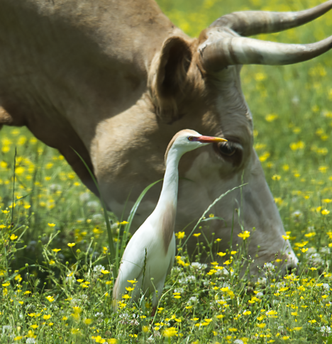 cow and cattle egret