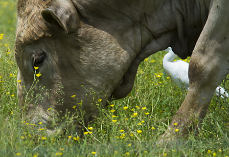 cattle egret and cow