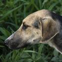 dog in cornfield