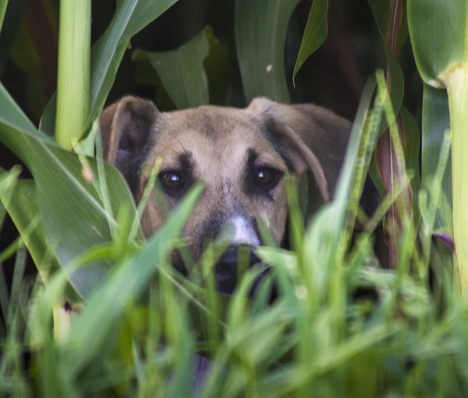 Dog peeking from behind corn stalks