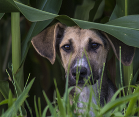 dog under cornstalk leaf
