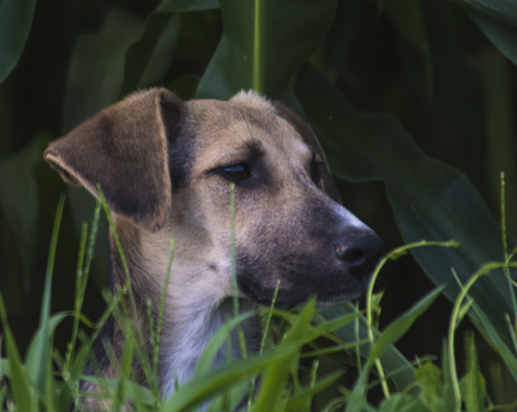 Dog in cornfield looking to right