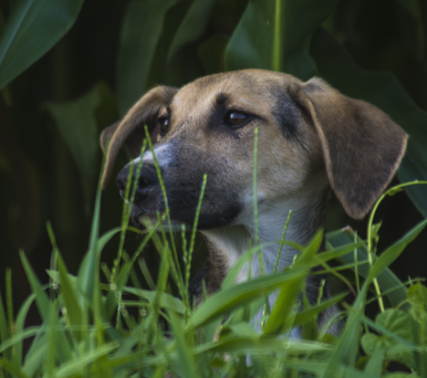 dog in cornfield watching passing car