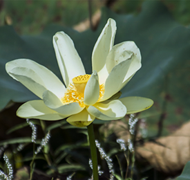 American Lotus bloom