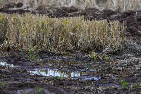 rice field stubble