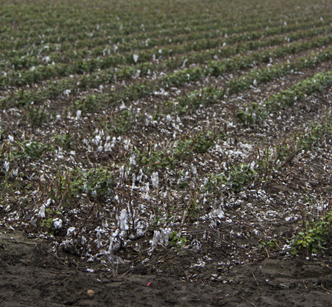 harvested cotton field