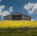field of buttercups in front of old barn