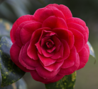 Red camelia bloon
