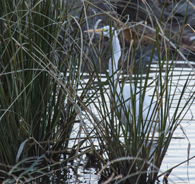 White egret at Saracen Lake in Pine Bluff, Arkansas