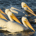 Pelicans on Saracen Lake