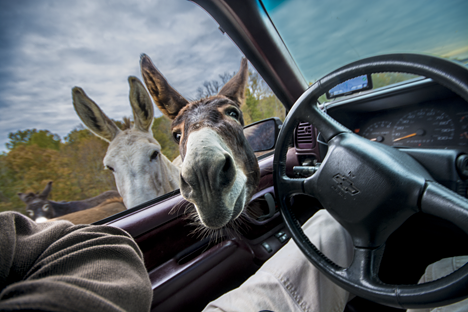 Donkey with head in pickup truck window