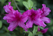 Three pink azalea blooms