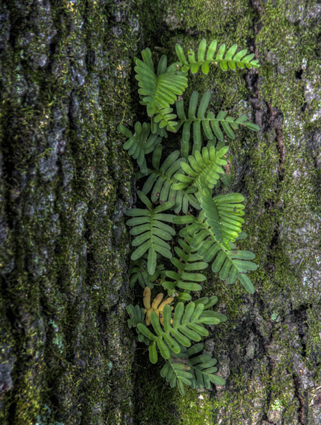 Ferns growing in oak tree