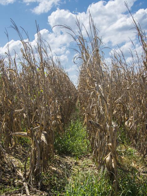 Corn ready for harvest near Grady Arkansas