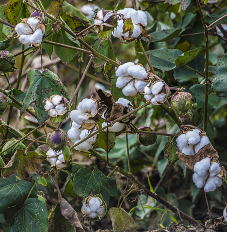 Cotton bolls in a field near Grady Arkansas