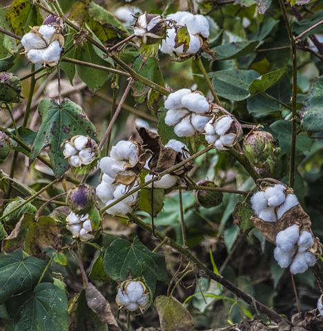 Cotton bolls in a field near Grady Arkansas